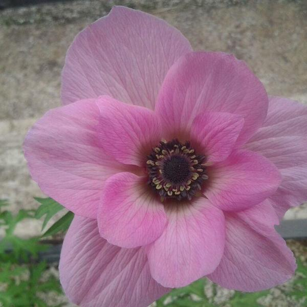 anemone rose poudre production