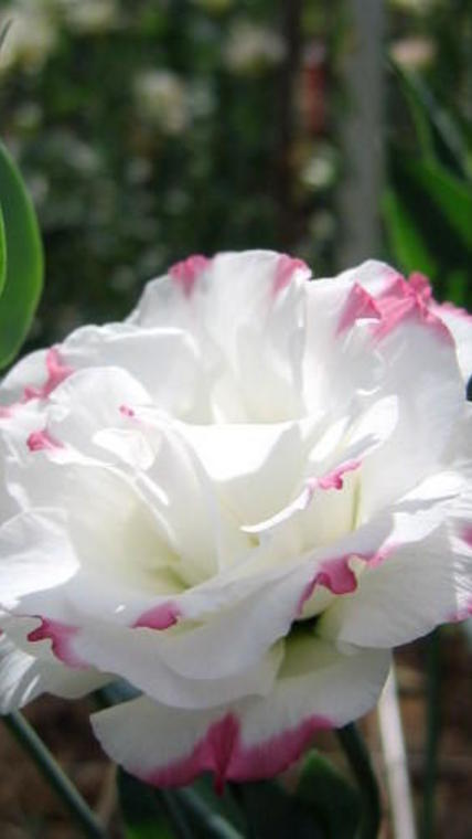 lisianthus-db-bic-rose-zoom_reference