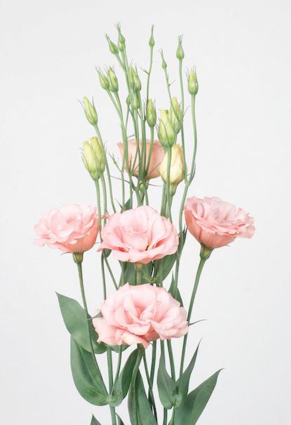 Lisianthus pr sentation des esp ces accueil for Lisianthus art floral